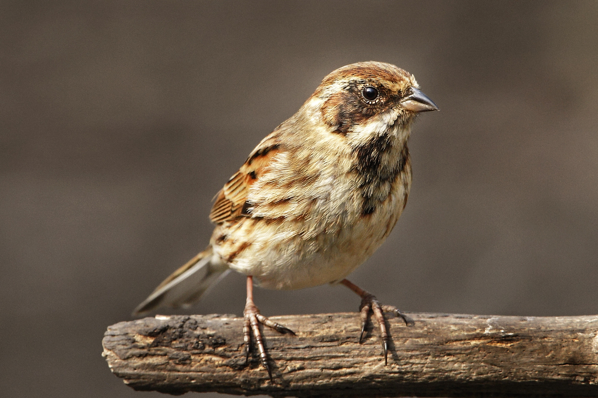 Photograph Female Reed Bunting. by Ian Hainsworth on 500px