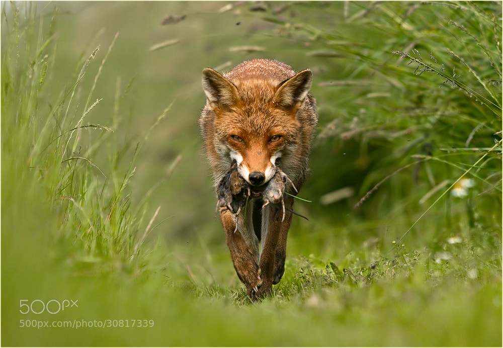 Photograph The tunnel through the grass by Ingrid Lamour on 500px