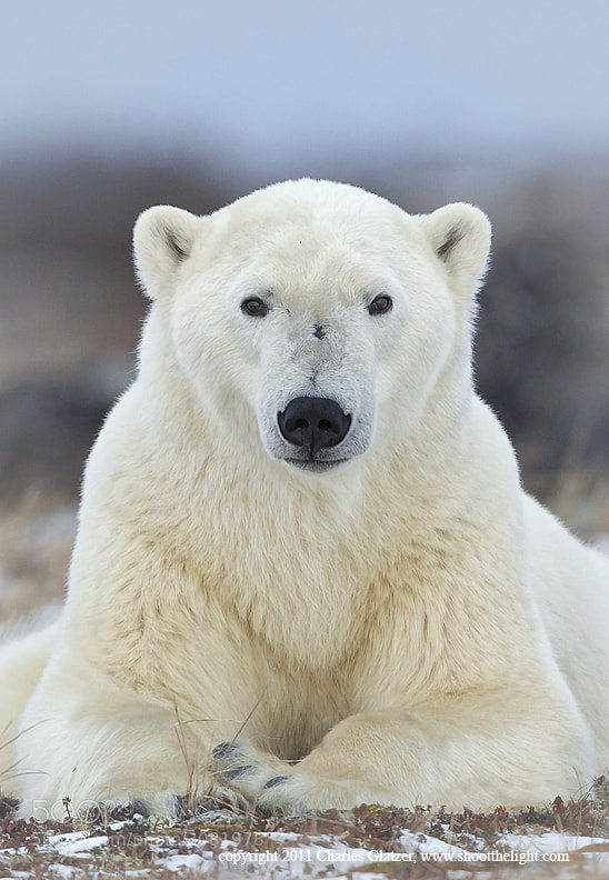 Photograph Polar Portrait by Charles Glatzer on 500px