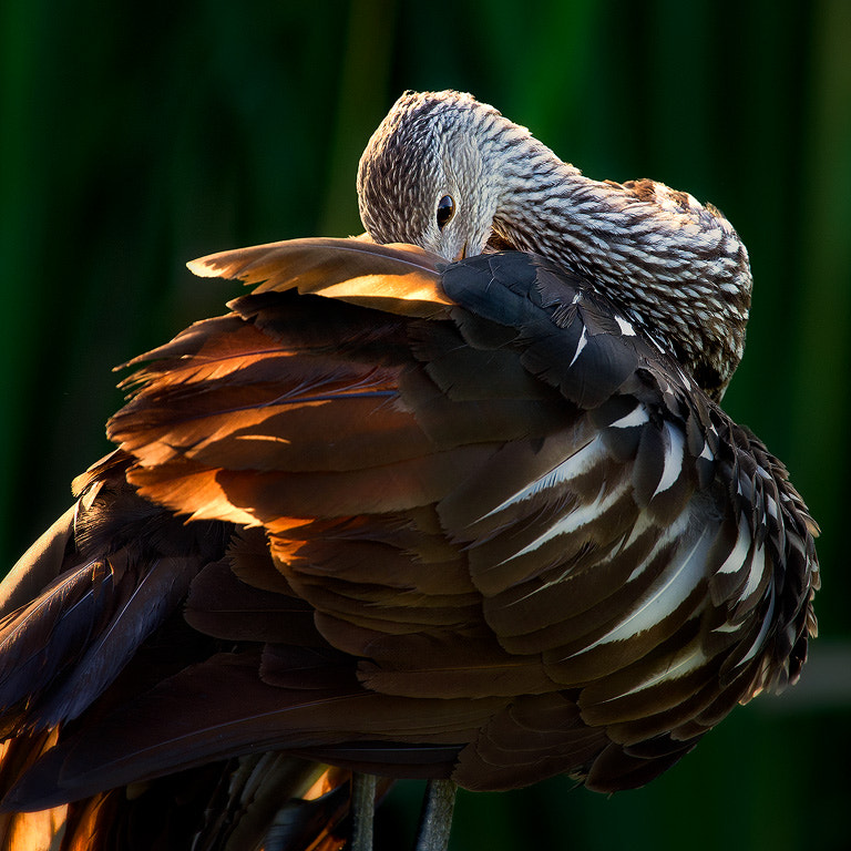 Photograph Bashful Limpkin by Steve Perry on 500px