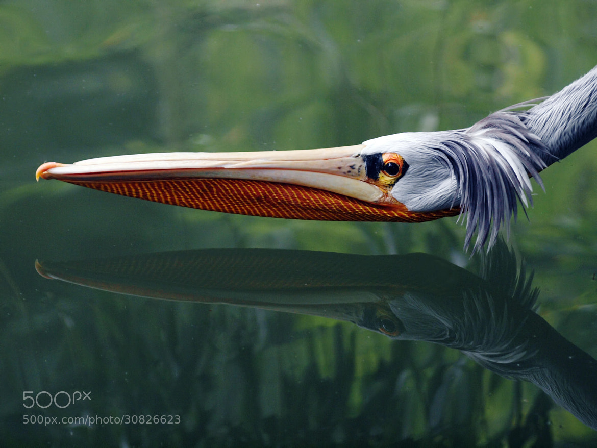 Photograph Pelican by darko skender on 500px