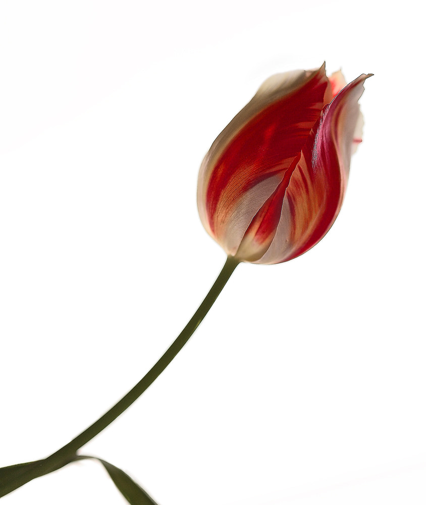 Photograph Tulip by Paola Congia on 500px