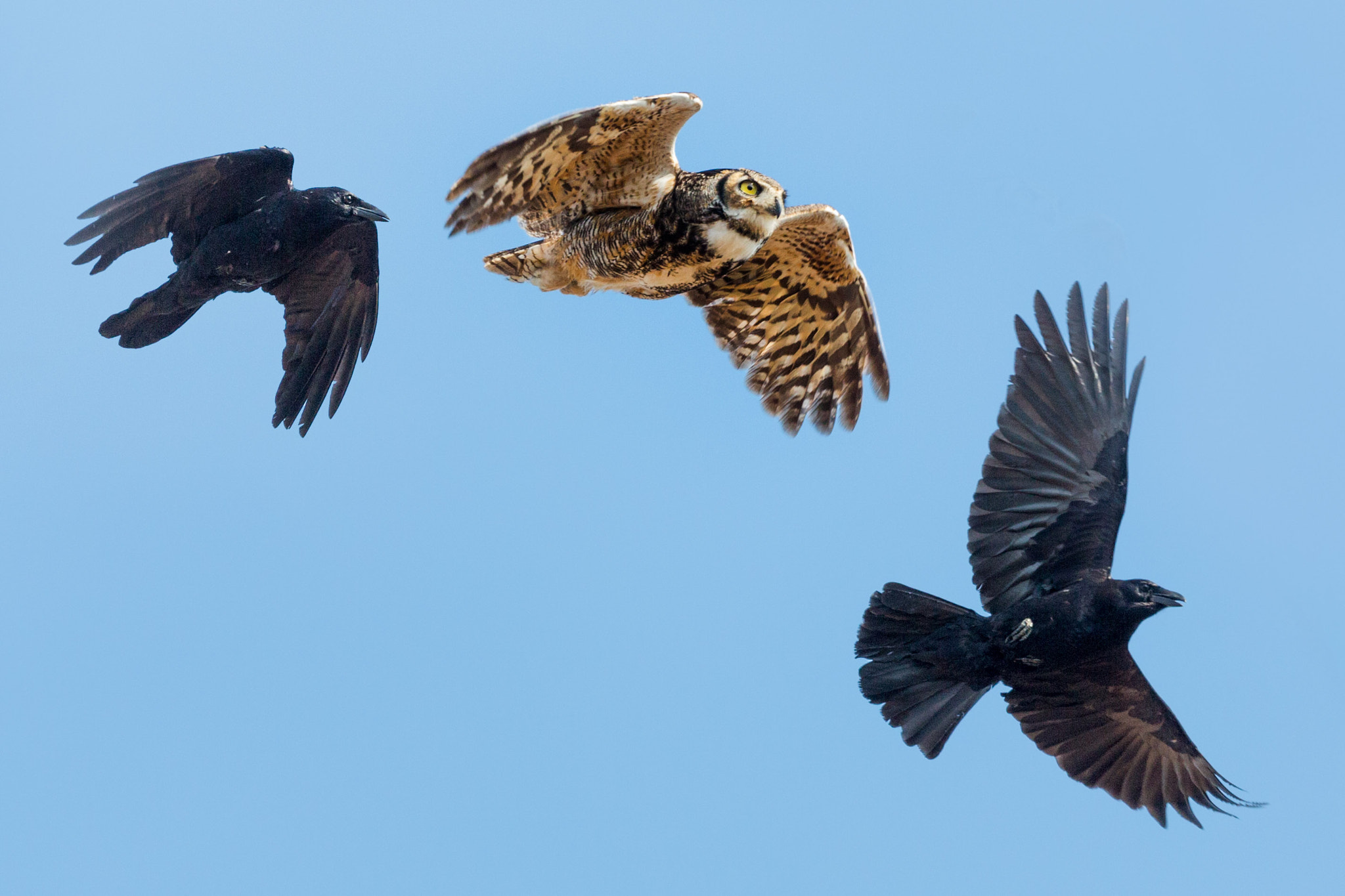 Photograph Crows chasing Great Horned Owl by Tony Northrup on 500px