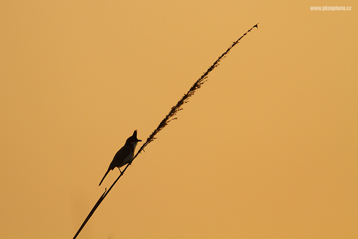 Photograph Red-whiskered Bulbul by Peter Krejzl on 500px