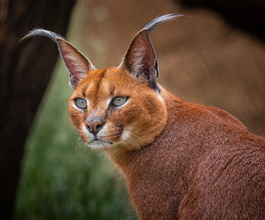 Karakal - Caracal by Miloš Lapá?ek on 500px.com