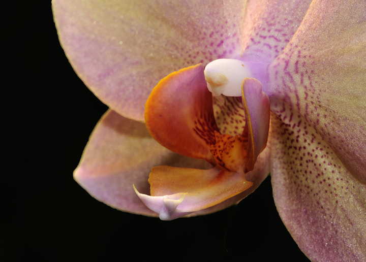 Photograph Apricot Orchid of 2013 by Dennis Rubin on 500px