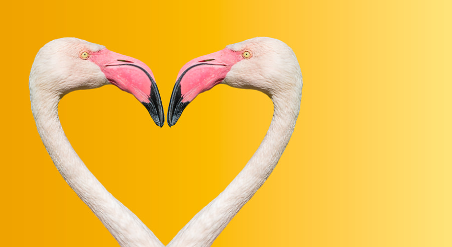 Couple of Rosy Chilean flamingos making loving heart at smooth g by Oleg Senkov on 500px.com