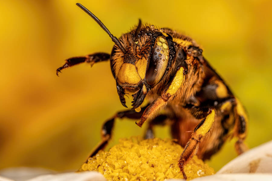 European Wool Carder Bee on Alert by John Kimbler on 500px.com