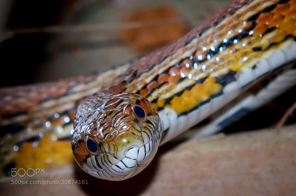 Photograph Wild corn snake in Florida Wetlands by David Olshan on 500px