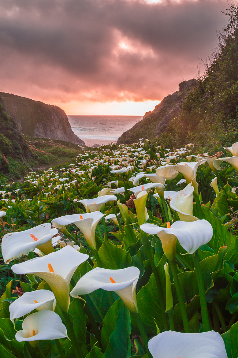Photograph Calla Lily in sunset, Big Sur by Jingjing Li on 500px