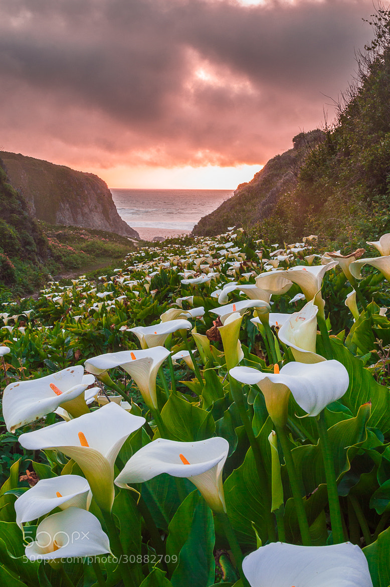 Photograph Calla Lily in sunset, Big Sure by Jingjing Li on 500px
