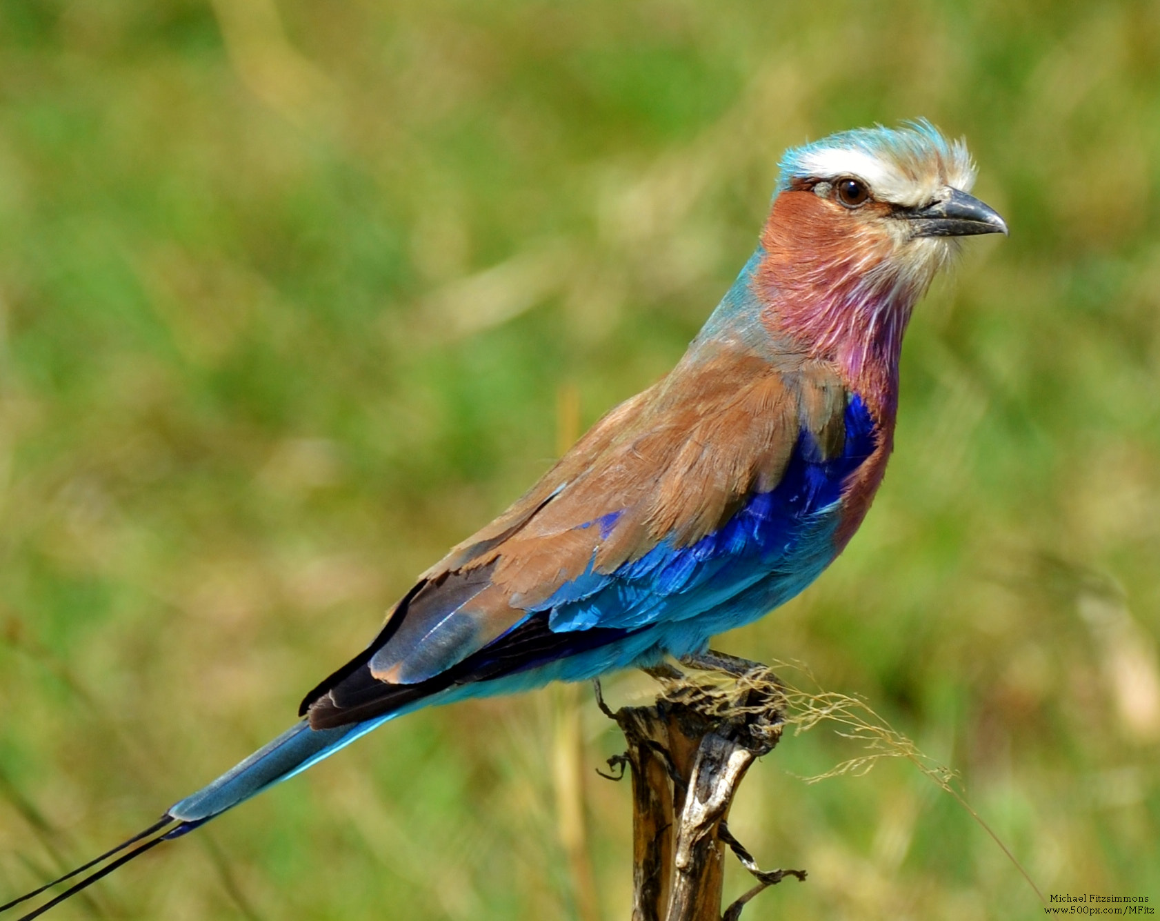 Photograph Lilac-Breasted Roller by Michael Fitzsimmons on 500px