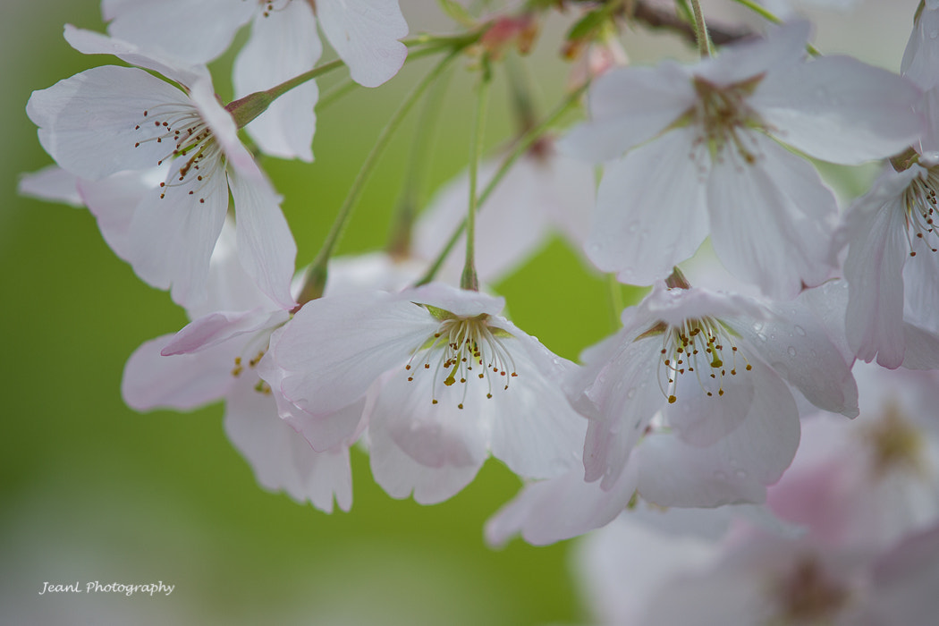 Photograph Cherry Blossoms by Jean Li on 500px