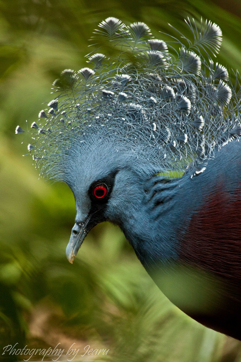 Photograph Victoria Crowned Pigeon by Jeannette Rudloff on 500px