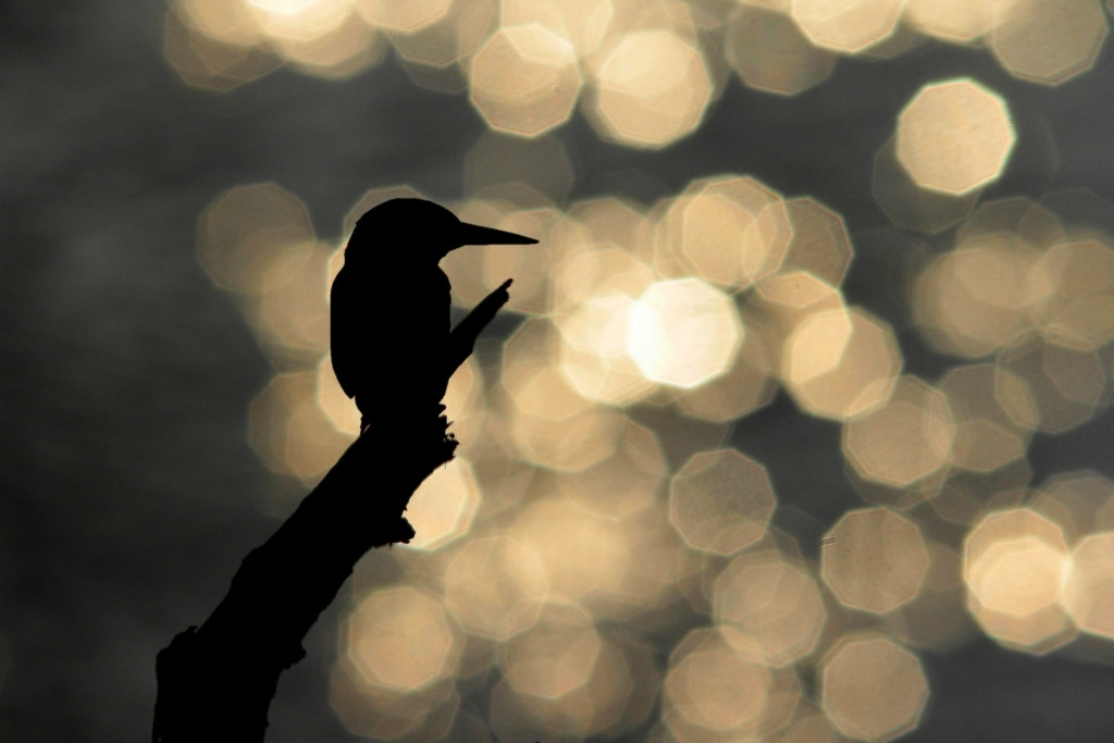 Photograph kingfisher silhouette by wise photographie on 500px