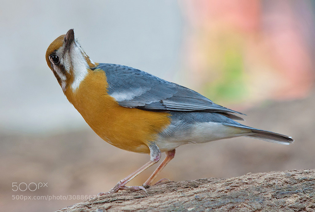 Photograph Orange-headed Ground Thrush  by Girish Prahalad on 500px