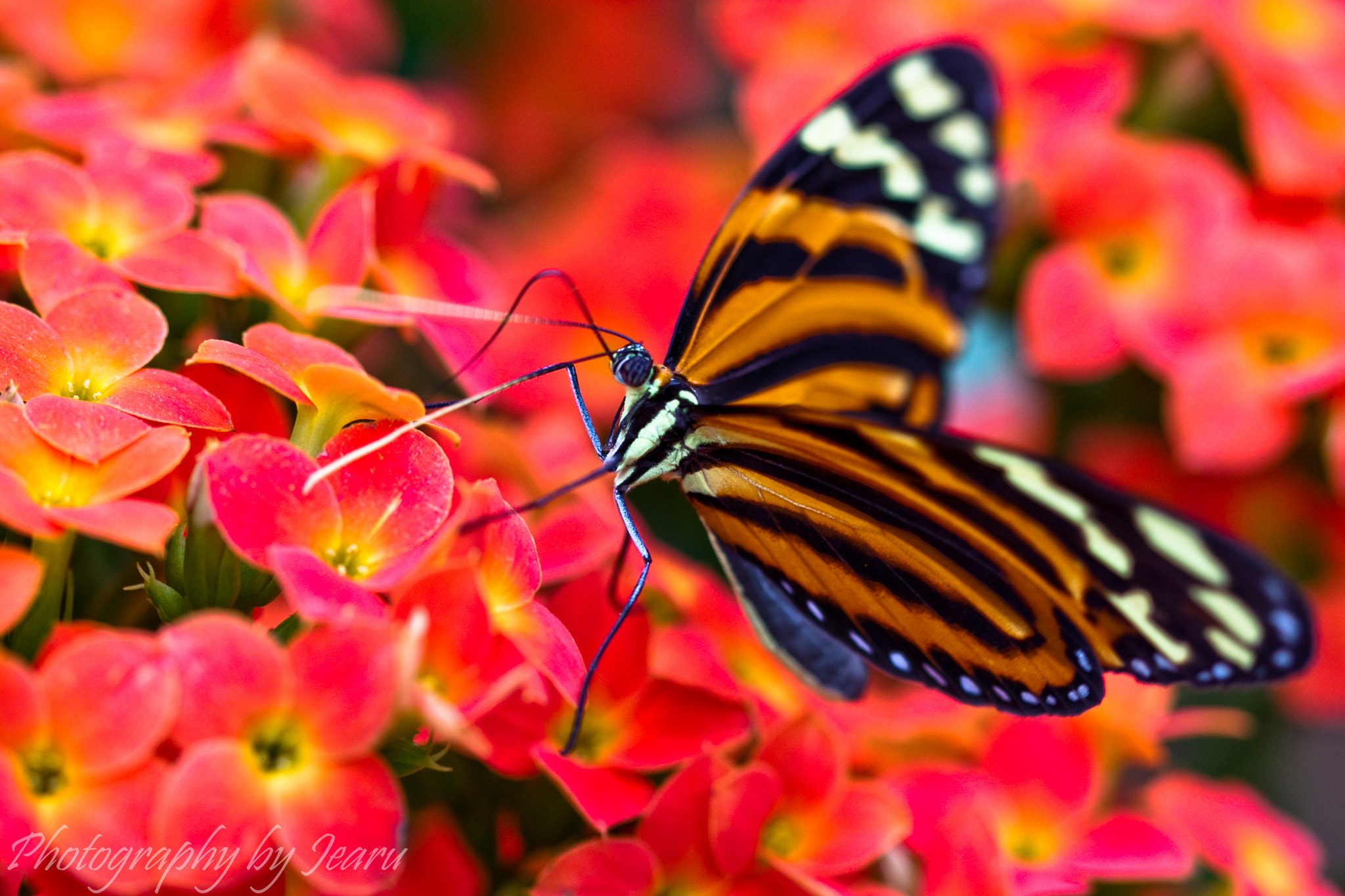 Photograph Passion tiger moth by Jeannette Rudloff on 500px