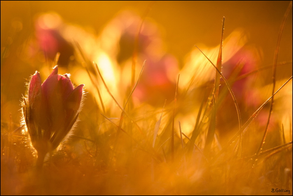 Photograph Pulsatilla vulgaris with backlight by gollingbenjamin on 500px