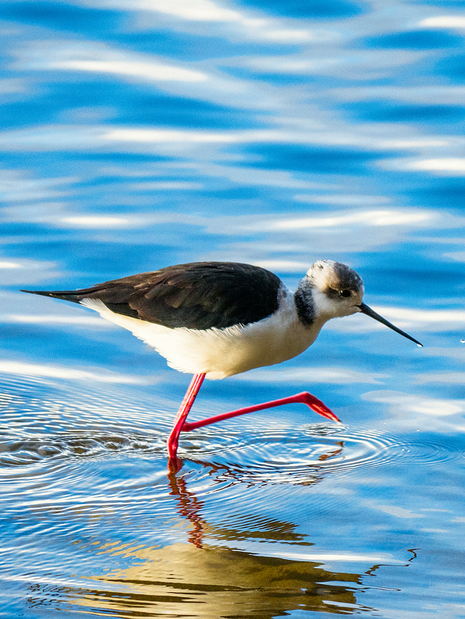 White-headed Stilt. by Paul Amyes on 500px.com
