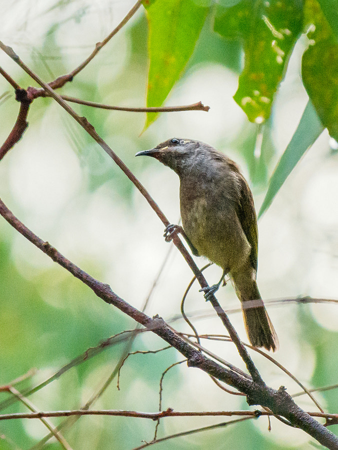 Brown Honeyeater, by Paul Amyes on 500px.com