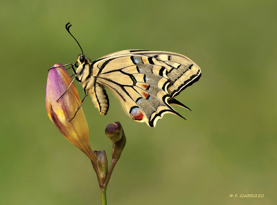 Photograph Swallowtail by Fabio Giarrizzo on 500px