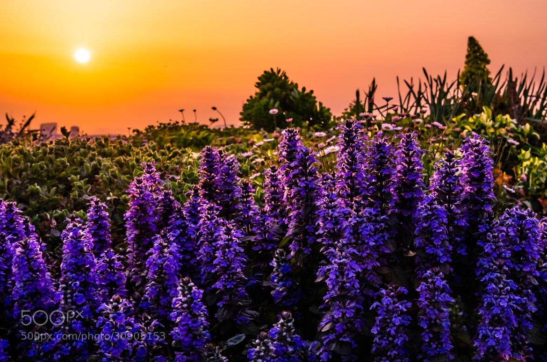 Photograph 夕日と花 by Sachiko Kawakami on 500px