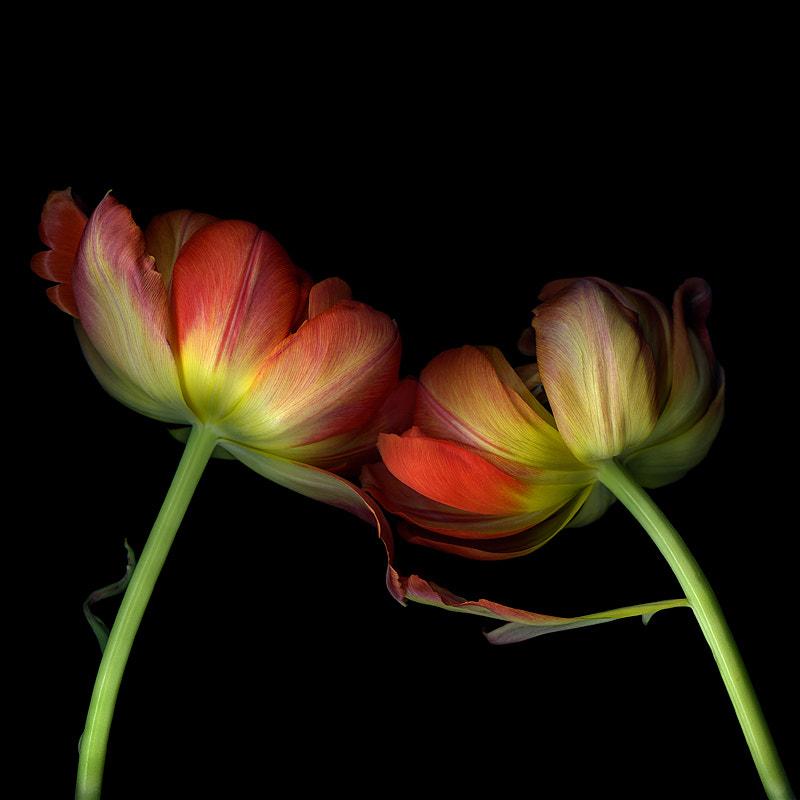 Photograph REACH OUT AND TOUCH...A FLOWER-STUDY 2... DOUBLE TULIPS. by Magda Indigo on 500px