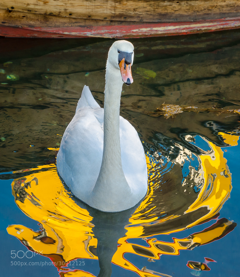 Photograph Swan by Stevan Tontich on 500px