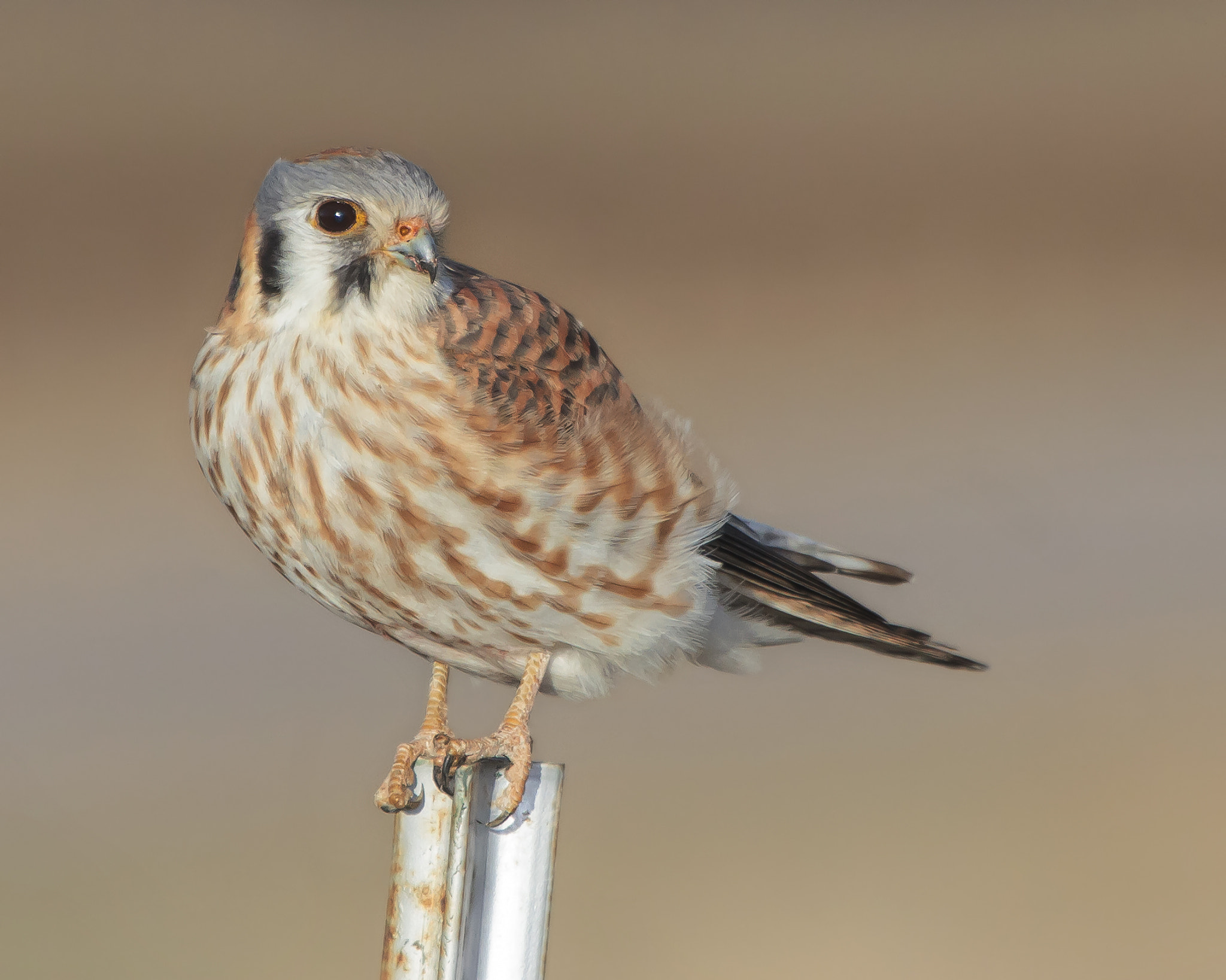 Photograph American Kestrel by Brandon Downing on 500px