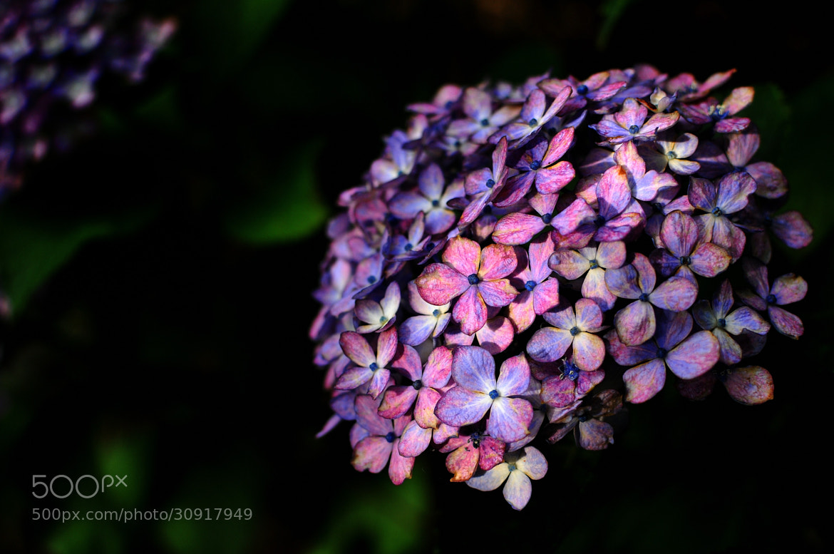 Photograph Hydrangea by Kanji Uno on 500px