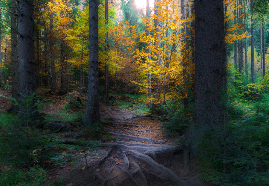 Forest Path by Mevludin Sejmenovic