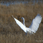 Great egret sticks a landing. Bear River Migratory Bird Refuge, Utah.