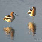 Taken at sunset in early spring as the avocets are pairing up to nest.