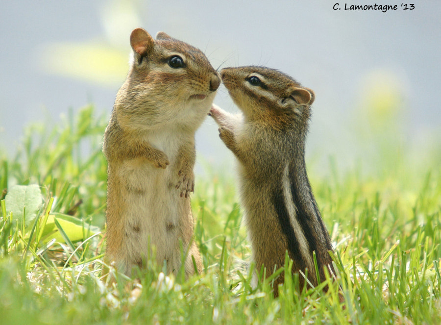 Two eastern chipmunks, a mother with her baby. Taken in my yard in springtime. She had just returned with her cheeks full of food and the baby was very happy to see her.   