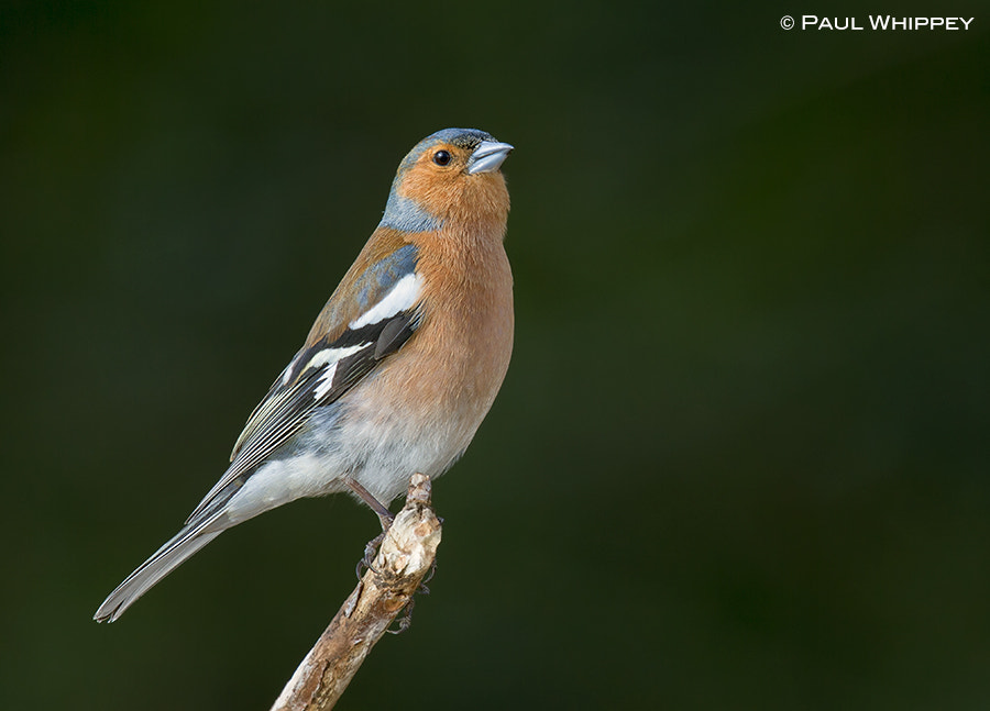 Photograph Male Chaffinch (Fringilla coelebs) by Paul Whippey on 500px