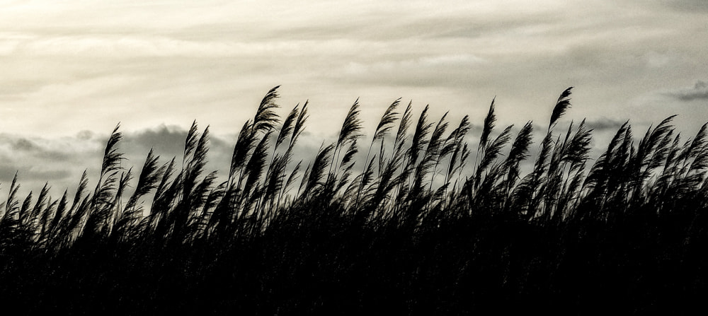 Photograph The reeds in the wind by Paolo Costantino on 500px
