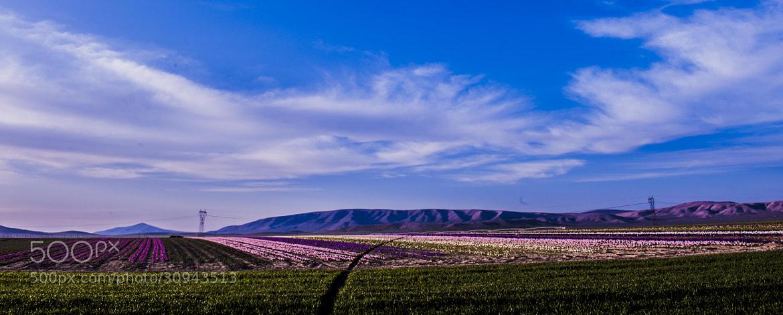Photograph field of tulips by M Sadık Bayram on 500px