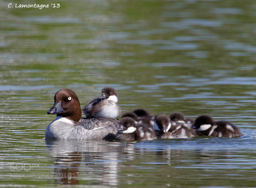 A family of Common Goldeneyes at one of our local lakes.