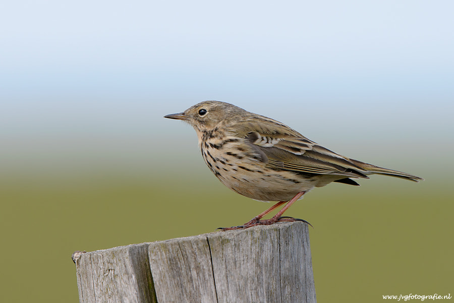 Photograph Meadow Pipit - graspieper by Johan van Gool on 500px