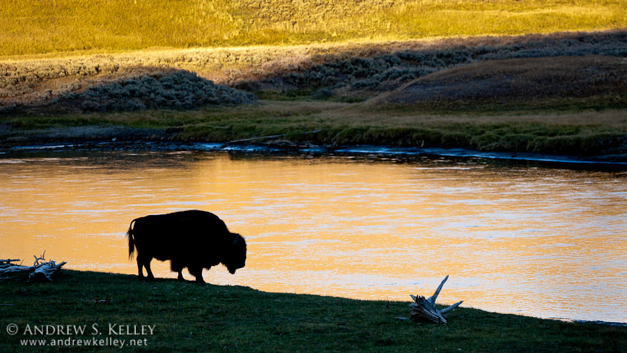 Photograph Bison at the Yellowstone River by Andrew Kelley on 500px