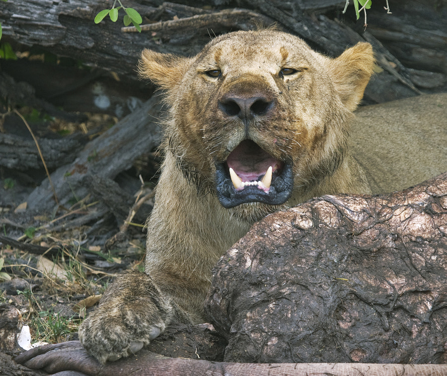 A sub-adult male enjoys the last nights Hippo kill, for which the Selinda pride were famous. Taken in Selinda Botswana