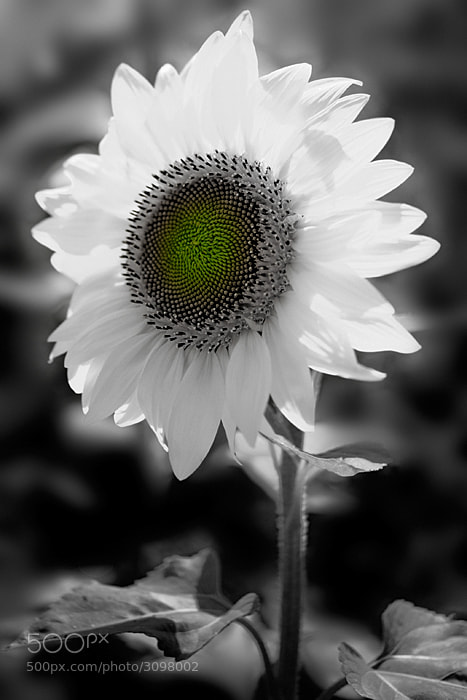 Photograph Sunflower by Kent Shiraishi on 500px