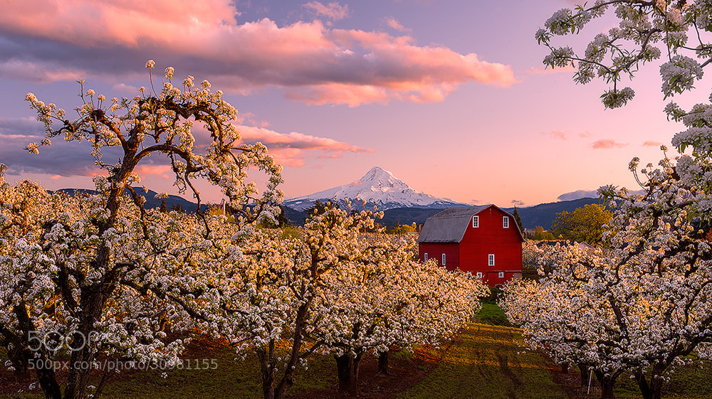 Photograph Blossoming by Rick Lundh on 500px