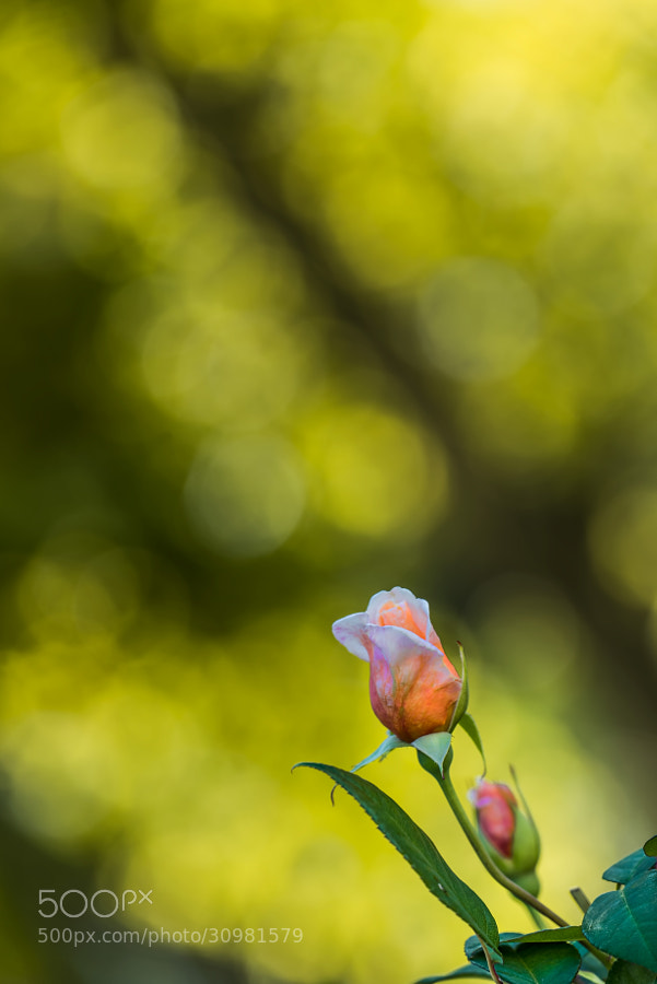 The bokeh of my new lens Sigma 180mm f3.5 is just amazing.