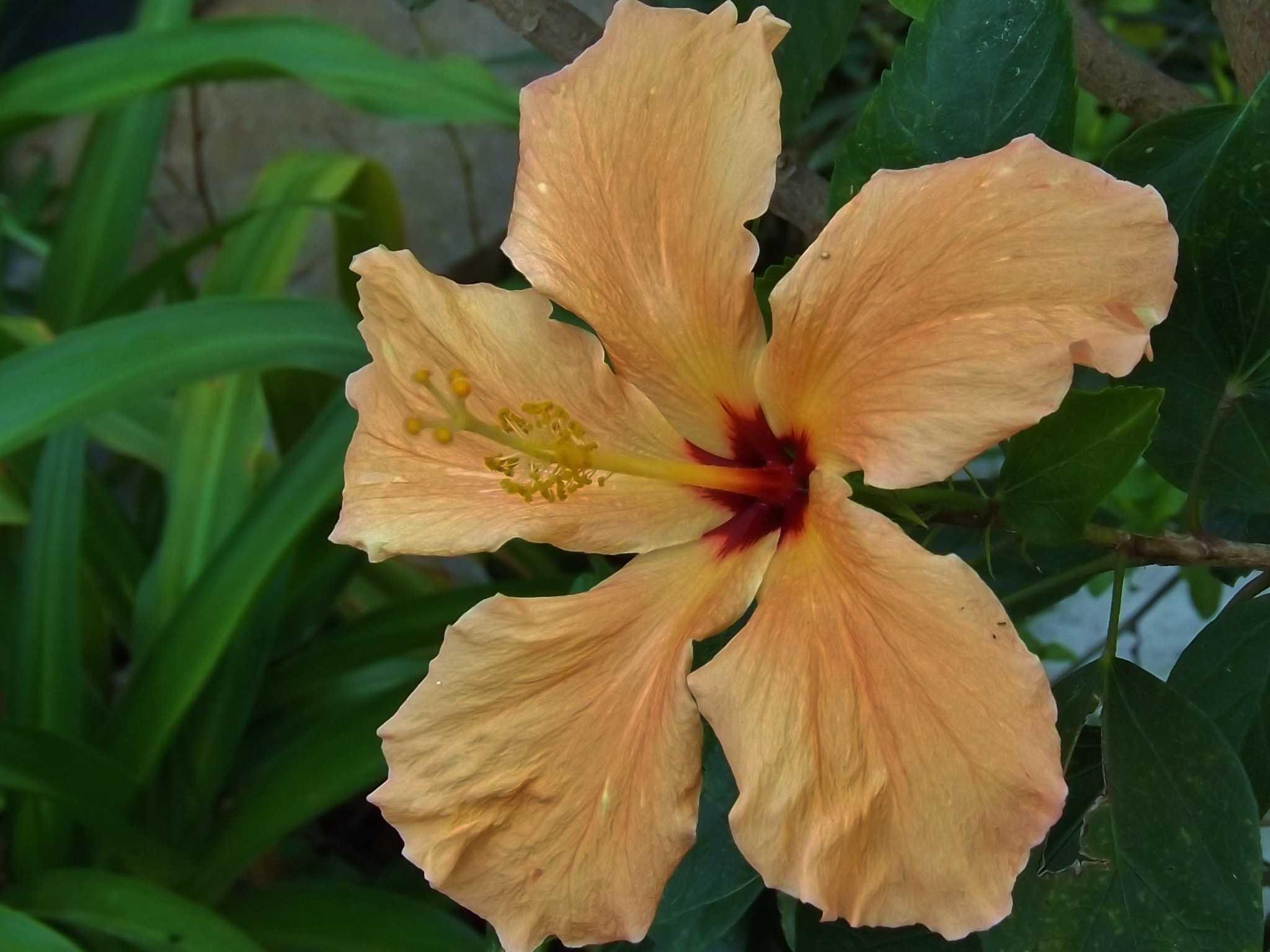 Photograph orange hibiscus by Shirley Johnson on 500px