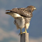 Juvenile Red-tailed hawk getting ready to launch at Bear River Migratory Bird Refuge, Utah,