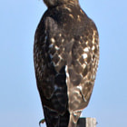 Juvenile Red-tailed hawk at Bear River Migratory Bird Refuge.