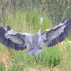 Great blue heron lands with fluffy frills.