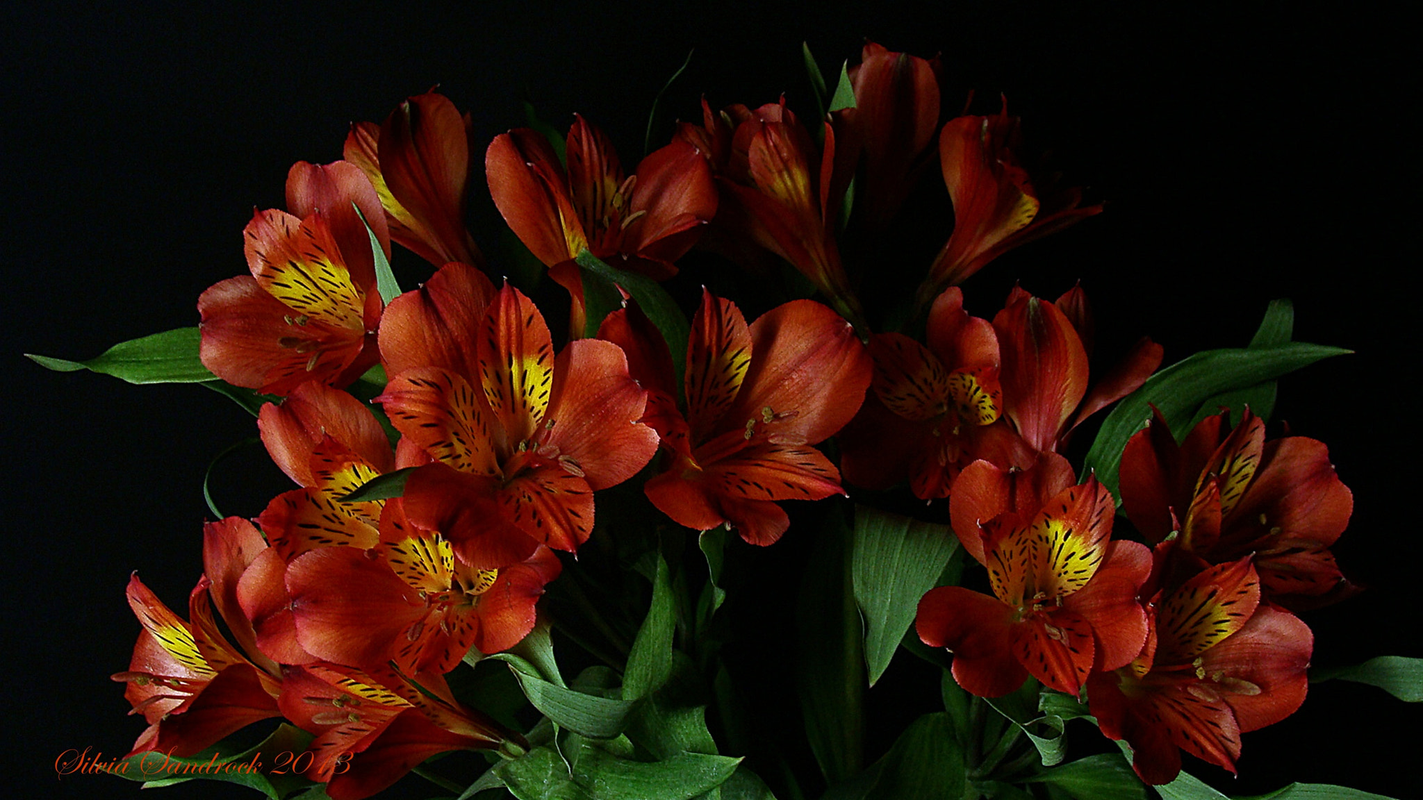 Photograph A Bouquet of Peruvian Lilies......... by Silvia Sandrock on 500px