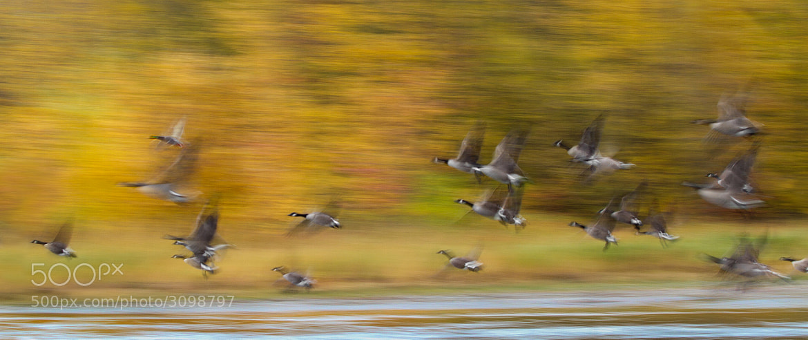 Photograph Canada Geese and a Mallard pan-blur by Daniel Cadieux on 500px